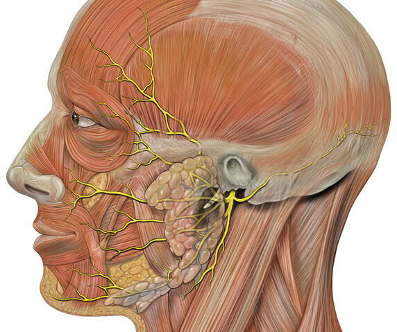 File:Head facial nerve branches.jpg