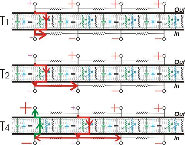 File:AP propagation membrane model view.jpg