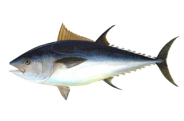File:Bluefin-big.jpg