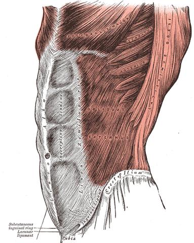 File:Grays Anatomy image392.png