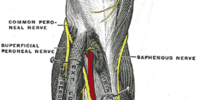 Superficial fibular nerve