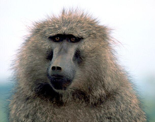 File:Olive baboon.jpg