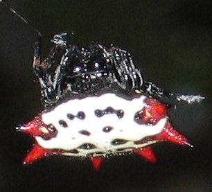 File:Gasteracantha.cancriformis.jpg
