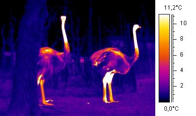 File:Wiki ostrich.jpg