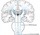 Medial leminiscus