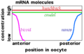Maternal effect mRNAs.png