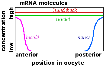 Maternal effect mRNAs