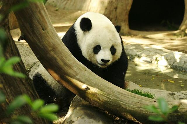 File:Lightmatter panda.jpg