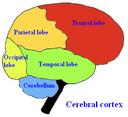 Brainlobes