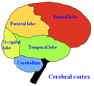 File:Brainlobes.png
