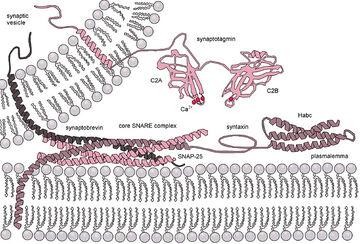 Exocytosis-machinery