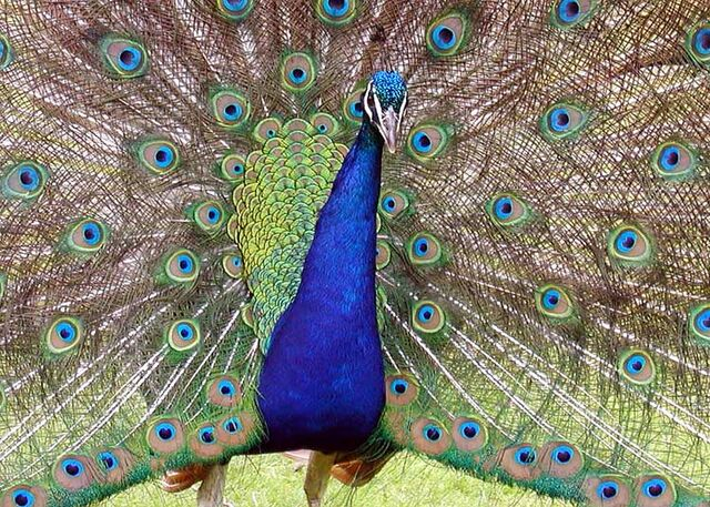 File:Peacock.detail.arp.750pix.jpg