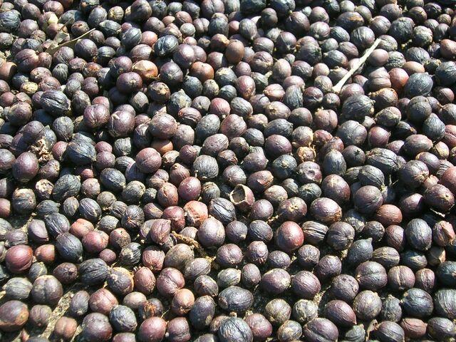 File:Coffee berries dried.jpg