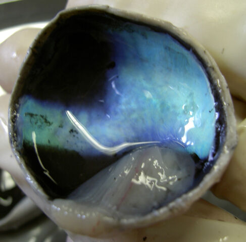 File:Calf-Eye-Posterior-With-Retina-Detached-2005-Oct-13.jpg