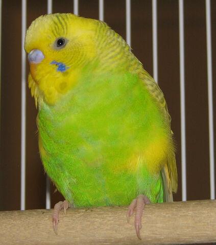 File:Budgie-parakeet001.jpg