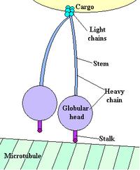 Cytoplasmic dynein
