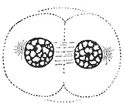 File:Telophase.jpg