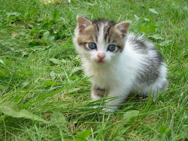 File:Stray kitten Rambo002.jpg