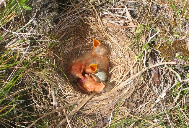 File:Redwing nest.jpg