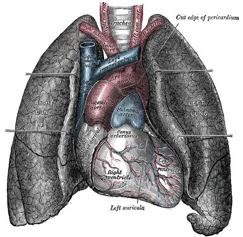 File:Heart-and-lungs.jpg
