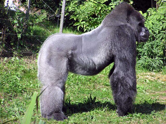 File:Bristol.zoo.western.lowland.gorilla.arp.jpg