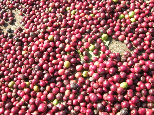 File:Coffee berries fresh.jpg