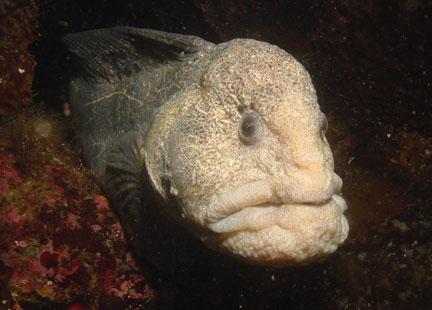 Wolf-eel