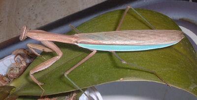 Chinese-praying-mantis 1