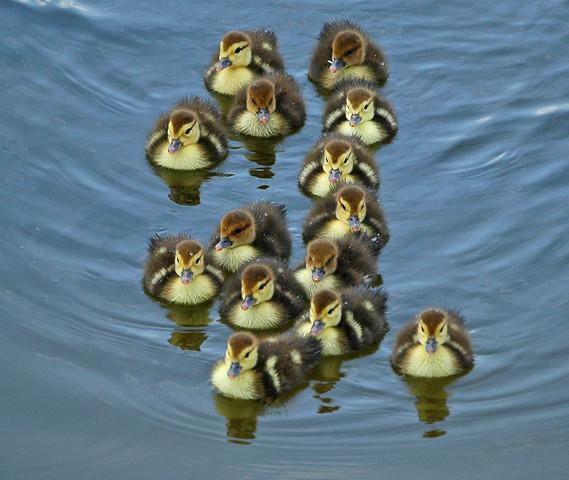 File:Tab Duck.jpg