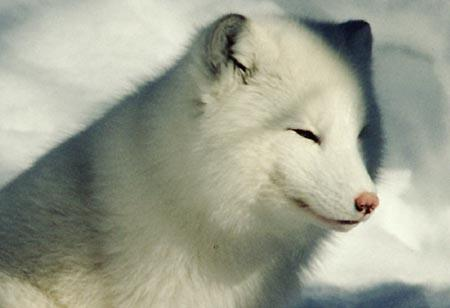 File:Arctic fox NP.jpg