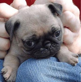 File:Cute mc pug.jpg