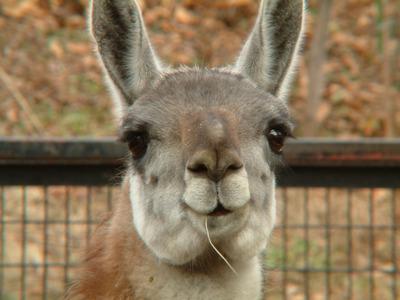 File:Drama Llama.jpg