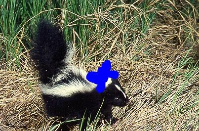 File:Minnie Skunk.jpg