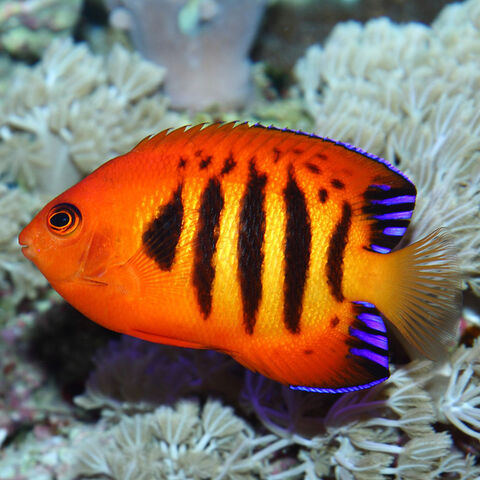 File:Flame angelfish.jpg