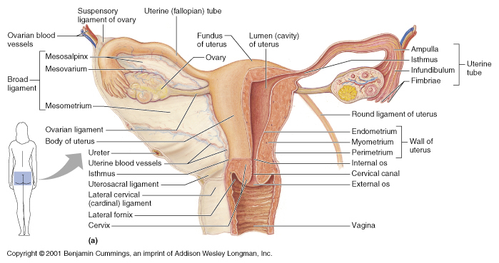 viscera:ovaries | ranzcrpart1 wiki | fandom powered by wikia, Human Body
