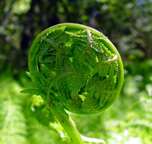 File:FiddleheadFern.jpg