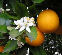 File:Oranges.jpg