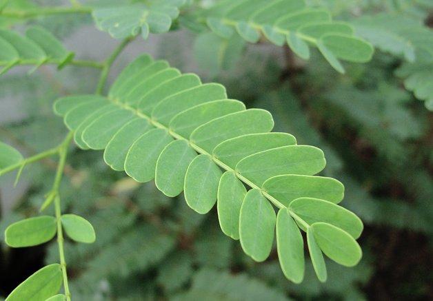 File:Tamarind leaf.jpg