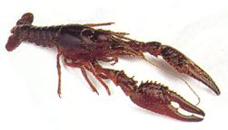 File:Crawfish.jpg