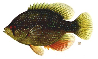 File:Sunfish.jpg