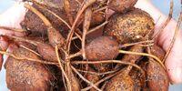 American groundnut