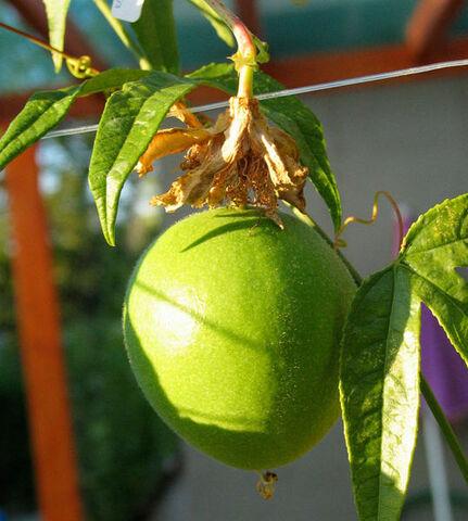 File:Maypop fruit.jpg
