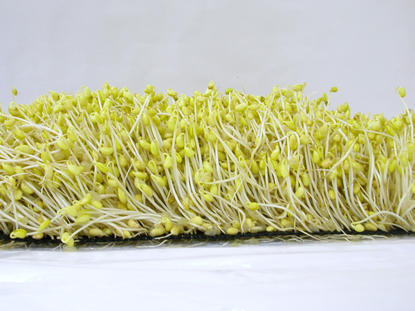File:Soybean sprouts.jpg