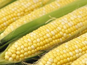 File:Corn main.jpg