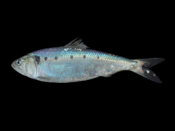 File:Shad.png