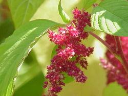 File:Amaranthus.jpg