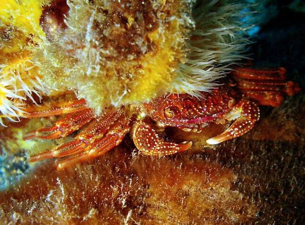 File:Crustacean.jpg