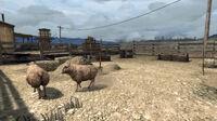Rdr sheep