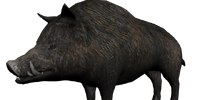Wilbur the Boar