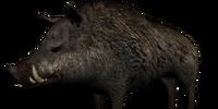 Gordo the Boar